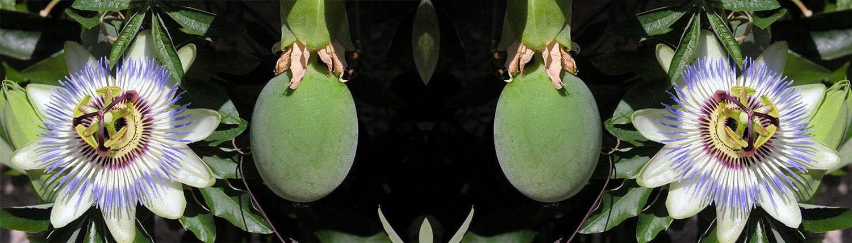 Maracuja – Passiflora
