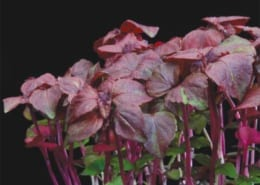 Shiso Purple