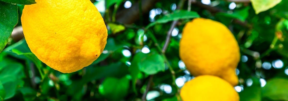 Le qualità di un capolavoro della natura… il limone